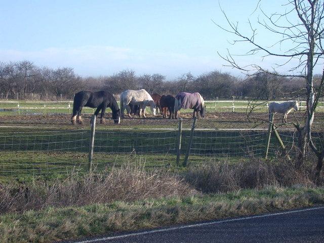 Horses by the Impington to Milton road