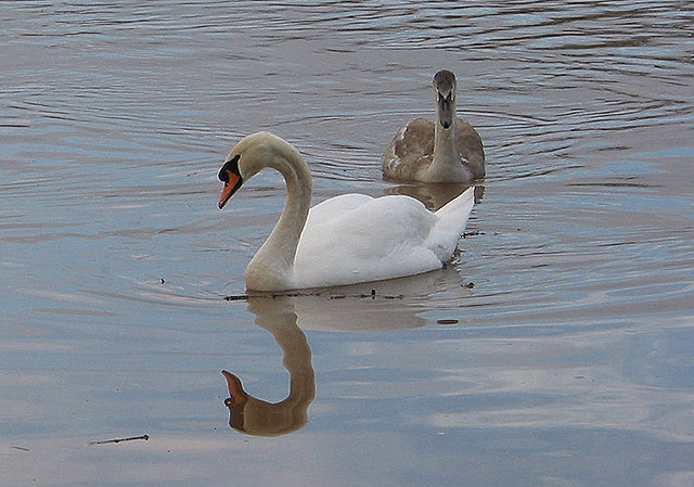 Swans enjoying the tranquil water on the floodplain