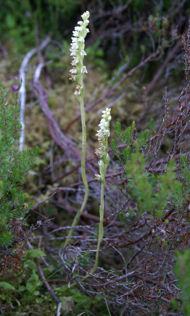 Creeping Lady's Tresses (Goodyera repens), Culbo