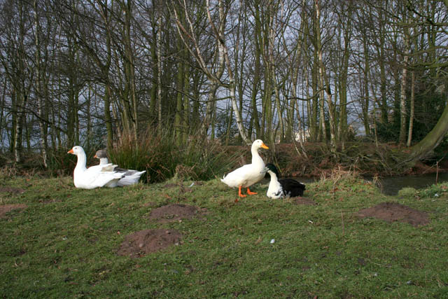 Ducks and geese at Strelley