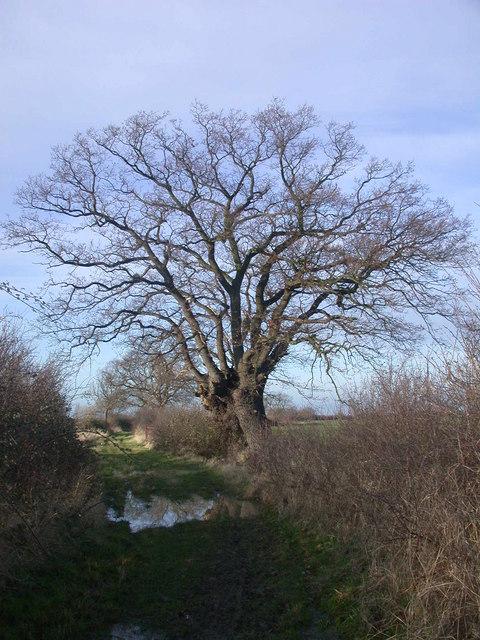 Tree and puddle on Rampton Drift