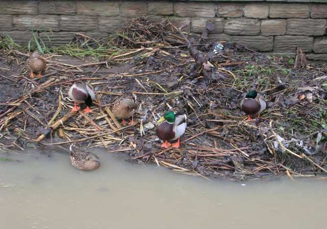 Ducks in Muddy Beck - Westgate End