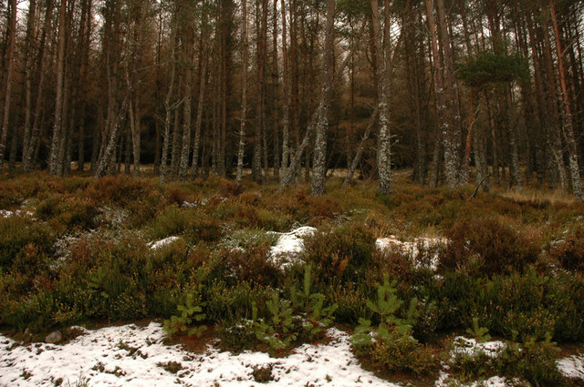 Forest on the slopes of Meall Mor