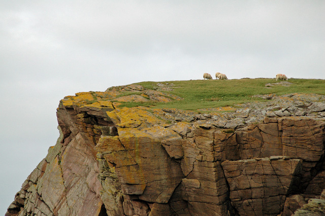 Sheep on Clifftop, Sròn Slugain Uaine, Tanera Beg, Summer Isles