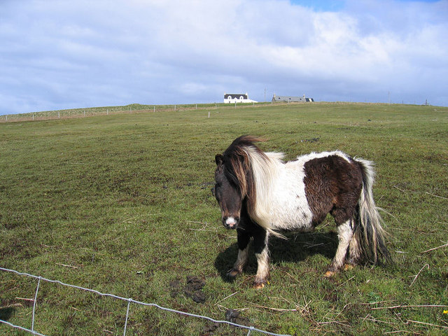 Shetland pony at Sellafirth