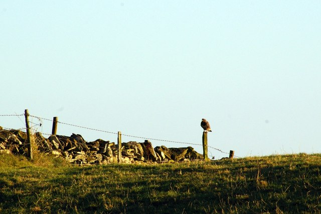 Buzzard on a Fencepost at  Finavon Hill, Angus