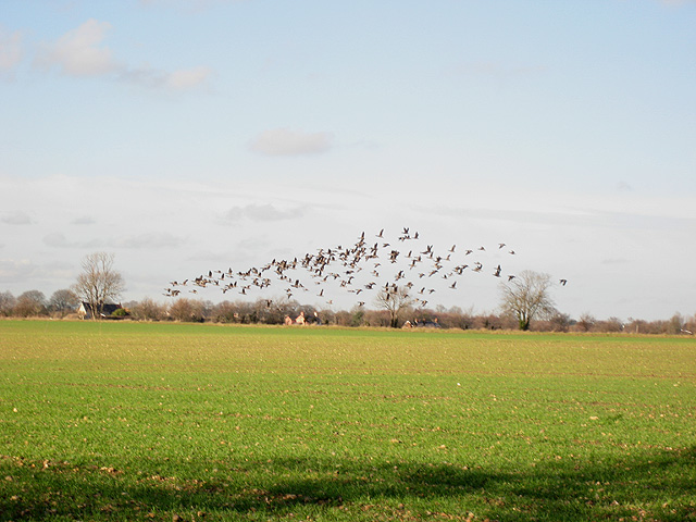 Geese flying off again at Erwarton