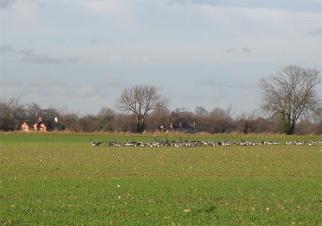Geese grazing on winter grain shoots at Erwarton