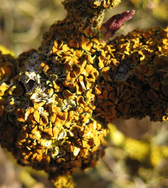 Profuse yellow lichen on riverside branch