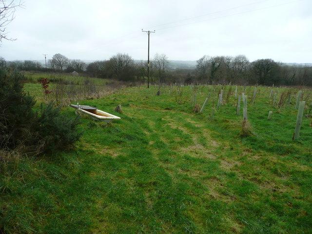 Newly planted woodland near Beara