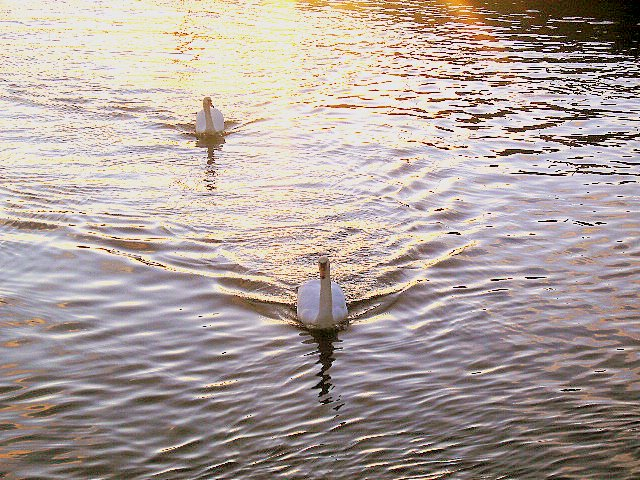 Swans in the Sunbeams on the River Lossie