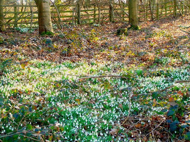 Snowdrops by the path to Normanton Church