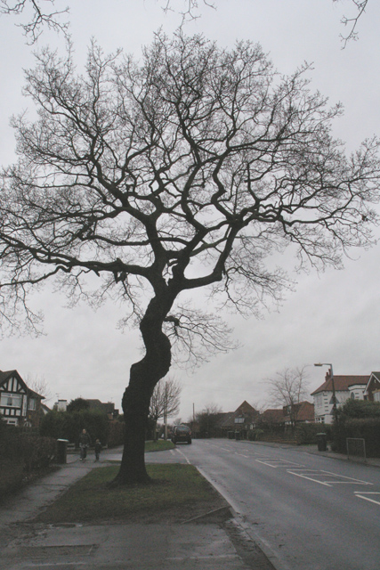 Tree on Cator Lane, Chilwell