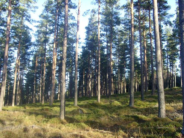 Scots Pine plantation on Finzean estate
