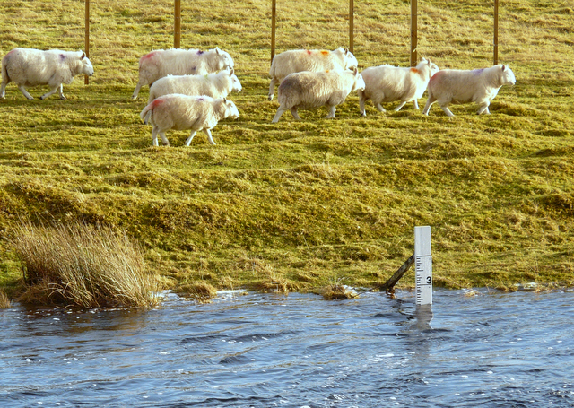 Sheep and high water, River Naver