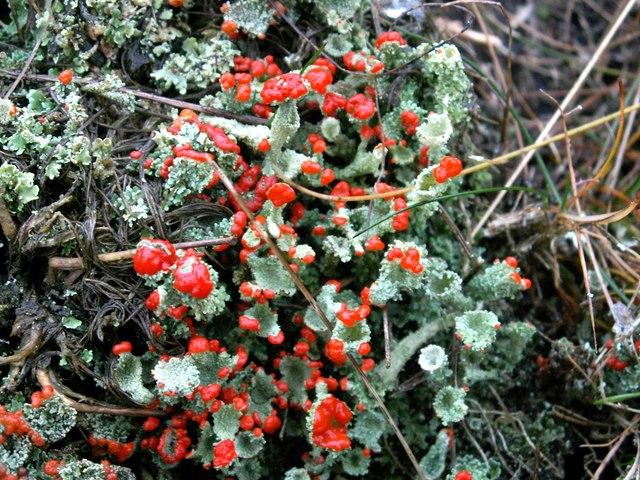 Devil's Matches (Cladonia floerkeana)