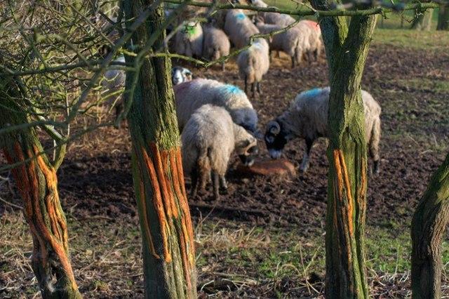 Sheep Gnawed Trees, Near St. Agnes House