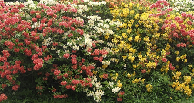 Deciduous Azaleas at Forty Hall, Enfield, Middlesex