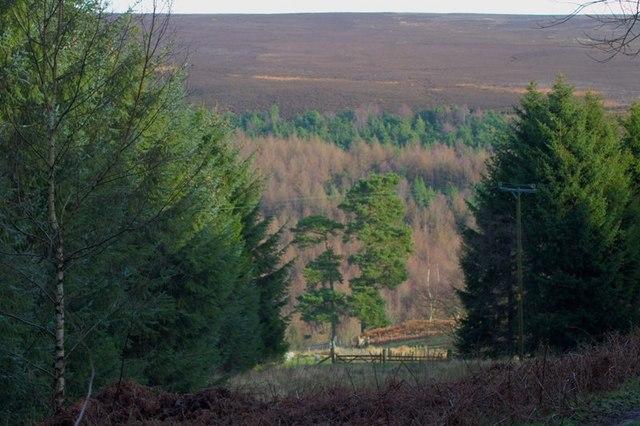Blueberry Wood