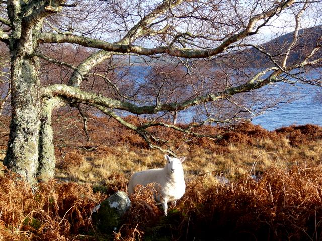 Curious sheep, Loch Naver