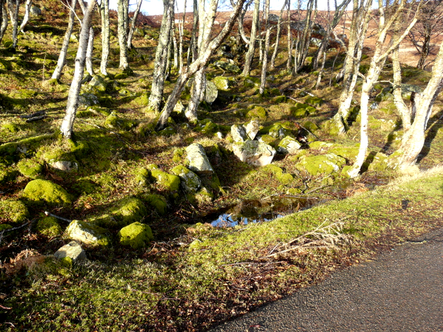 Roadside Birches, Loch Naver