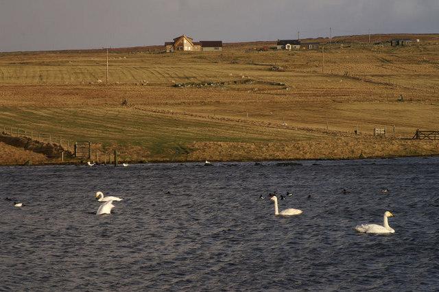 Whooper Swans on Easter Loch, Uyeasound