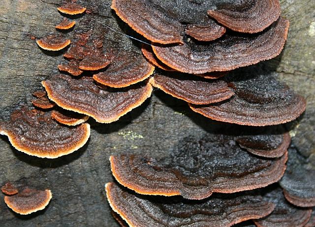 Fungus on Felled Log