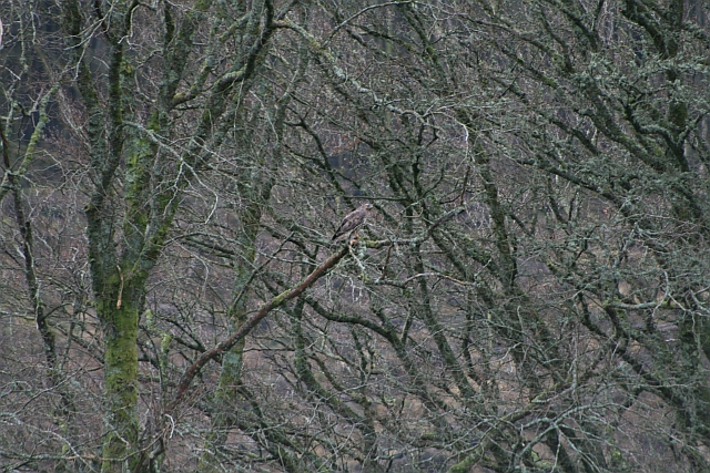Buzzard in Trees near Auchenfraoch