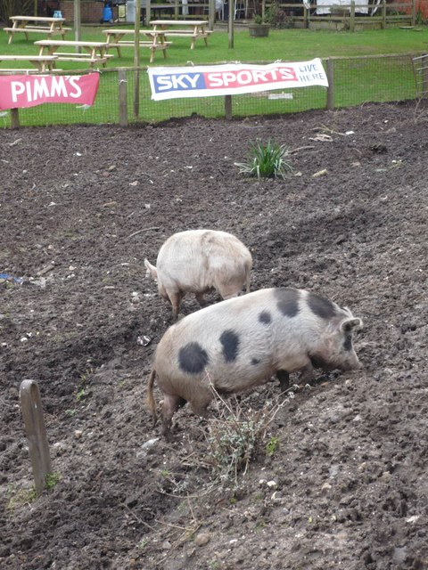 Pair of pet pigs at the pub