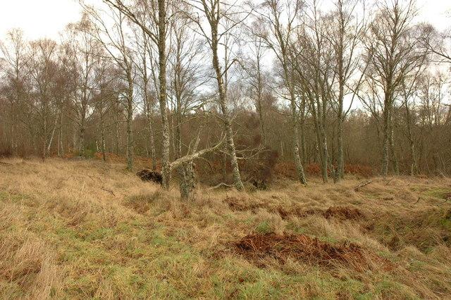 Woodland near Killen Burn
