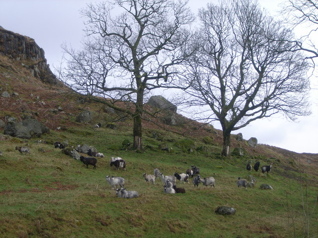 Wild Goats in Goat Park, The Queens Way