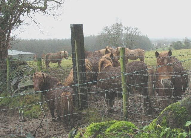 Shetland ponies at Glasgoed