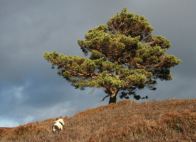 Springer and a lone pine by Cose burn