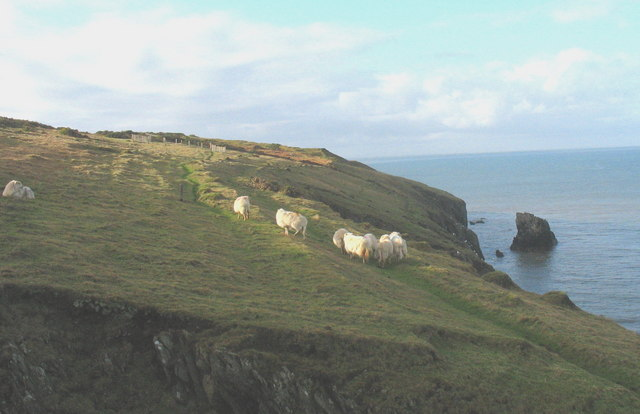 Sheep on the clifftop path above Ynys Fach
