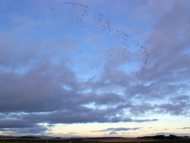 Skein of Geese near Hayhillock, Angus