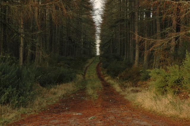Overgrown forest track and larch trees