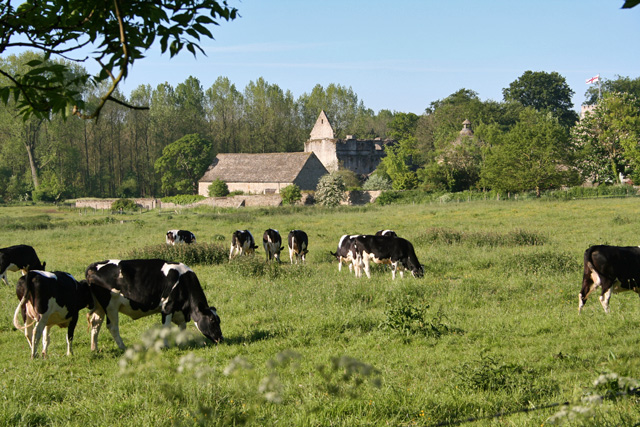 Cows in meadow by Minster Lovell ruin