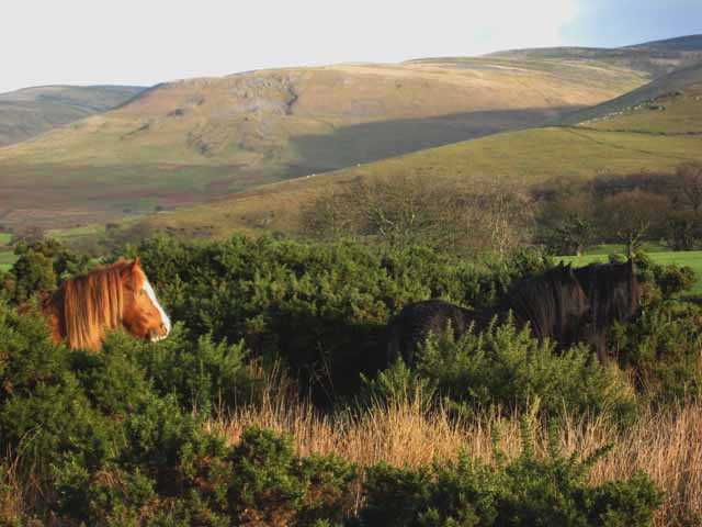 Horse in the gorse
