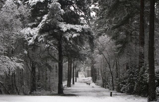 Hawley Wood (or Hawley common) in snow