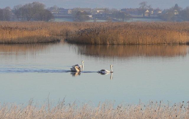 Swans at Shapwick Heath