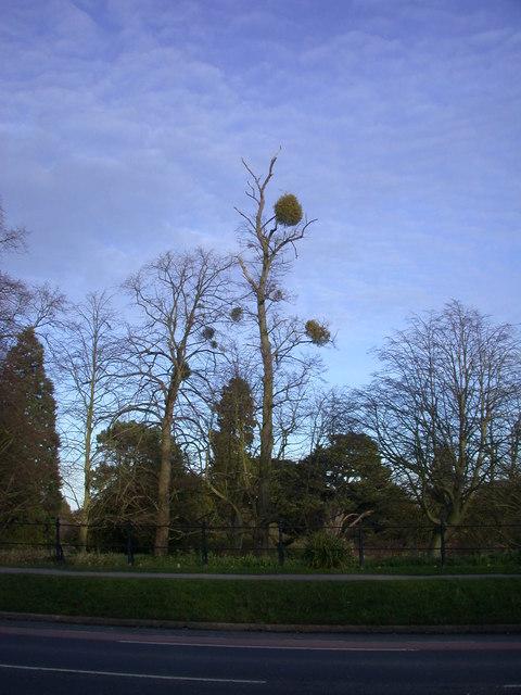 Mistletoe with tree