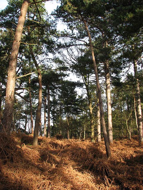 On the edge of Waveney Forest