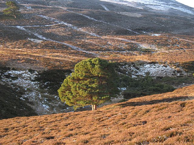 Scattered pines, An Leth-allt