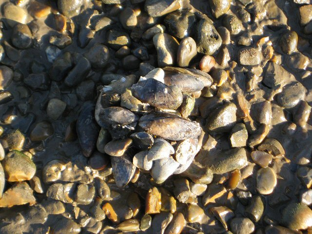 Pebbles and Mussels