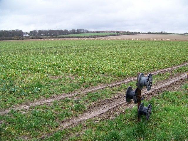 Field turnips growing near Harnham