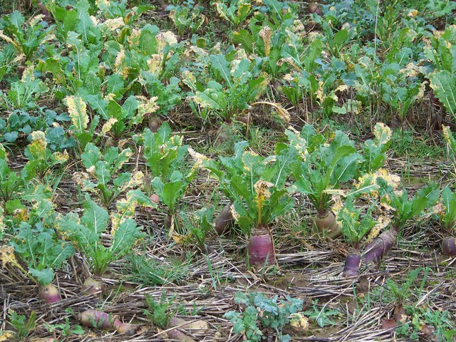Field Turnips