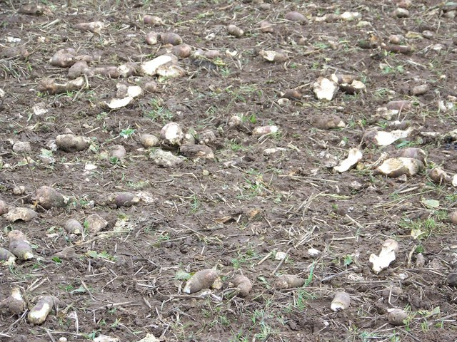 Remains on field turnips near Harnham