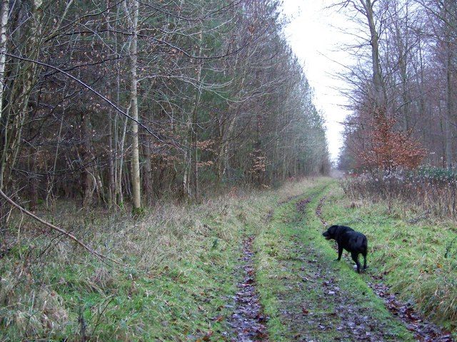 Woodland track in Vernditch Chase