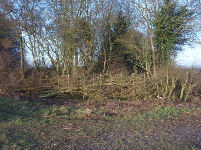 Laid hedge by entrance to Dole Wood