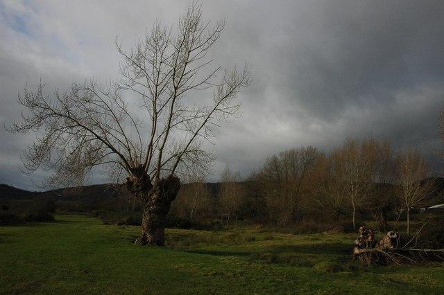 Black Poplar tree, Castlemorton Common